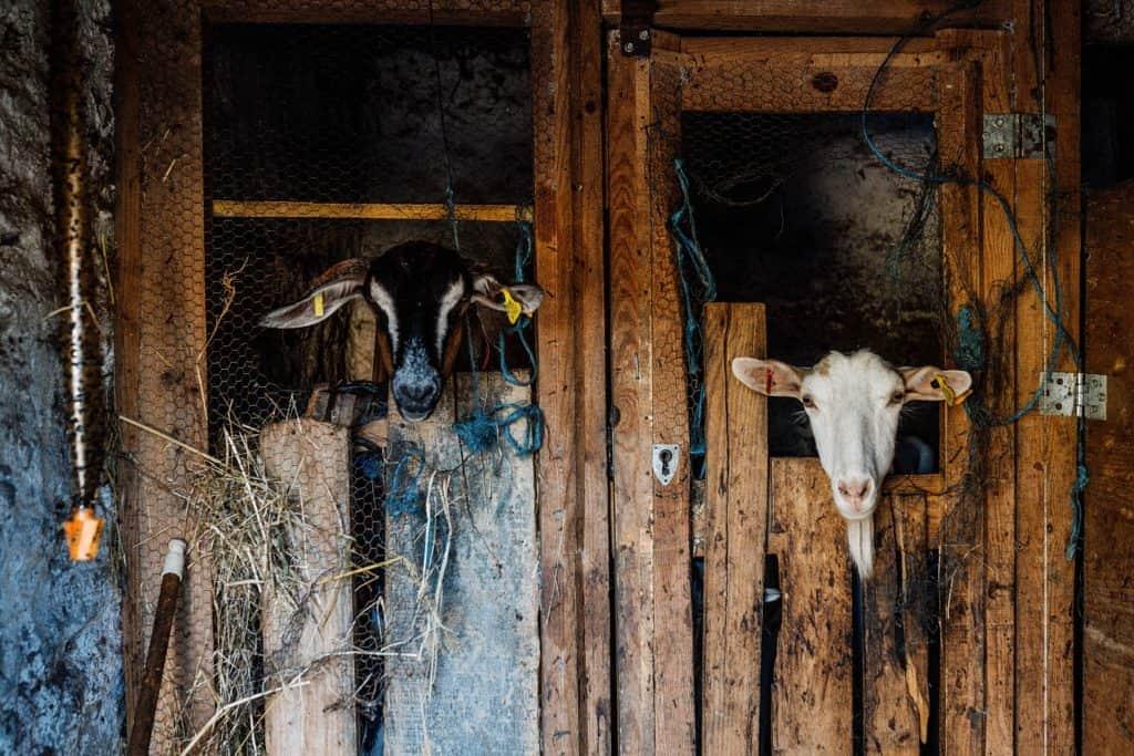 Curral de cabras