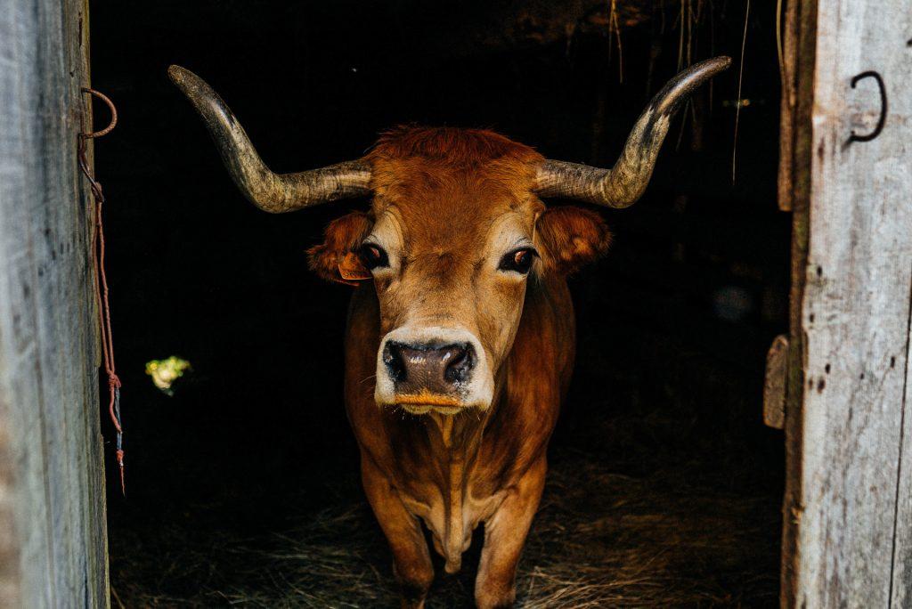 Vaca arouquesa em Campo Benfeito