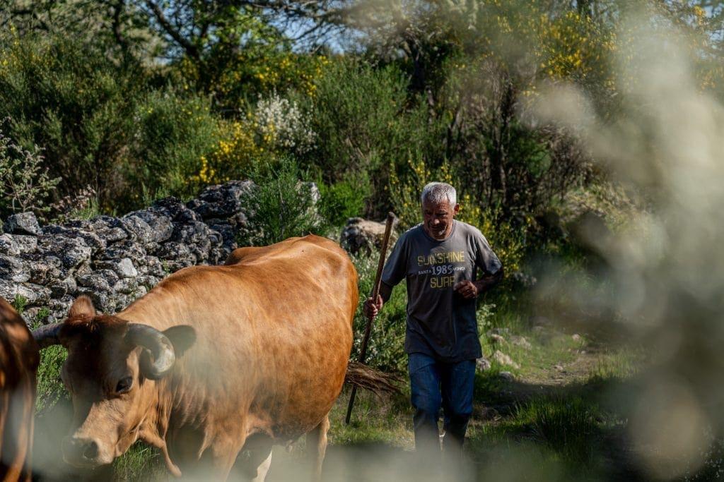 Vacas arouquesas em Campo Benfeito